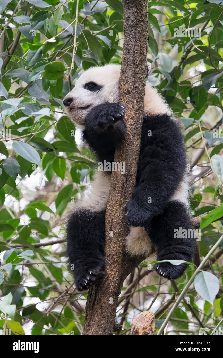Baby Giant Panda resting in a tree at the Chengdu Research Base of Giant Panda Breeding, Chengdu China - Stock Image