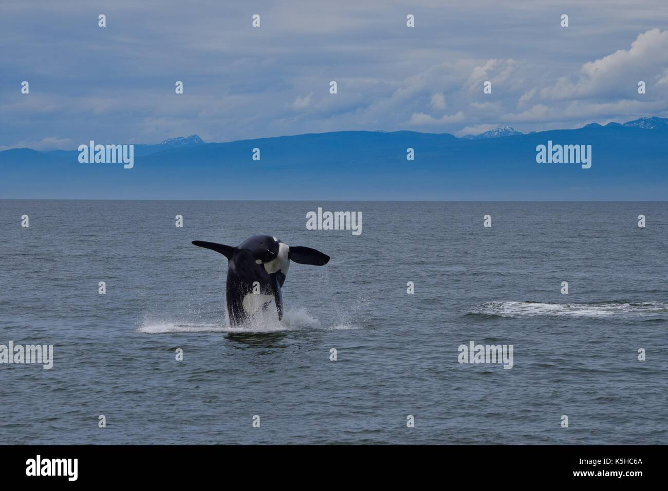 Jumping Killer Whale - Stock Image