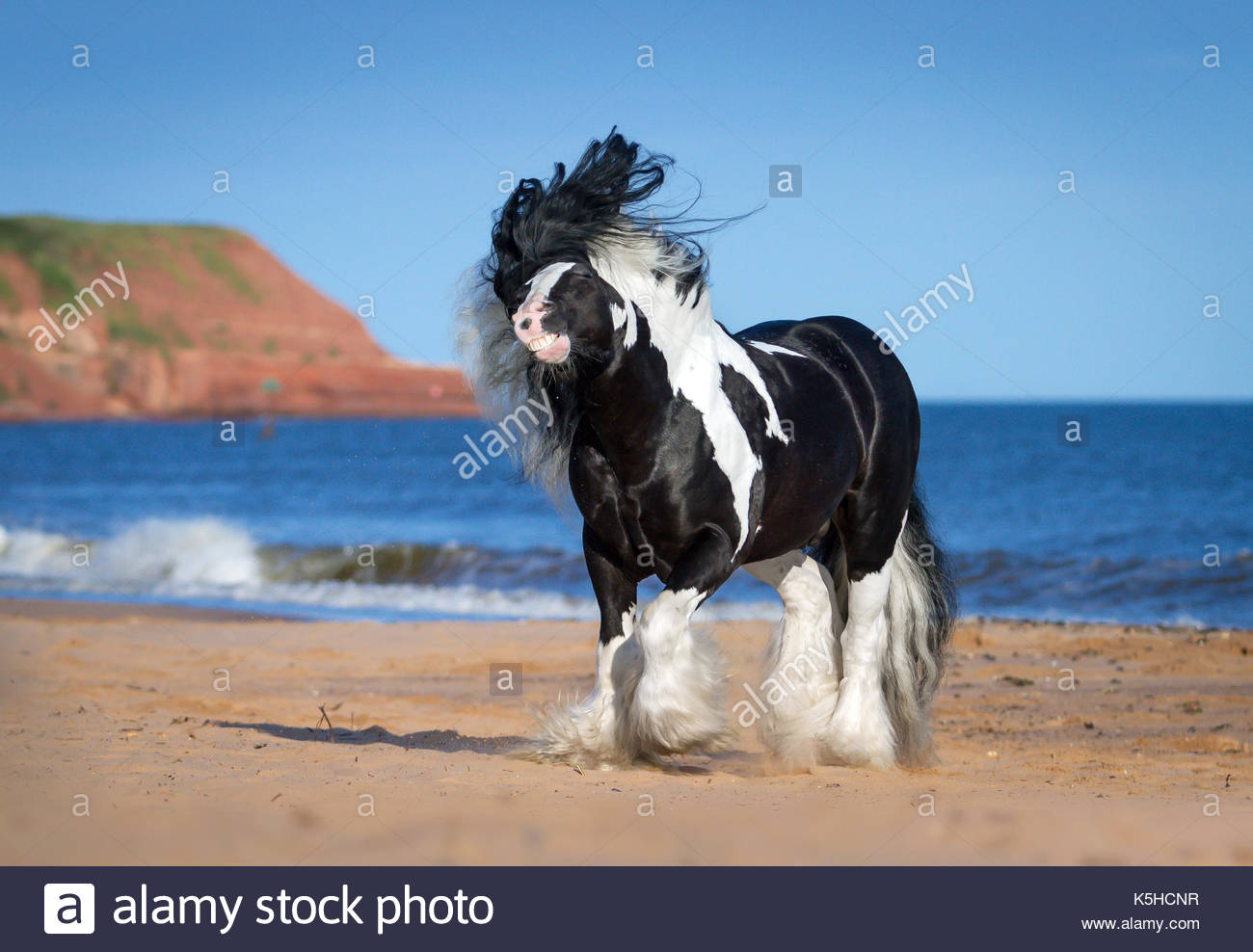 Gypsy CHorse Cob Vanner stallion on the beach - Stock Image