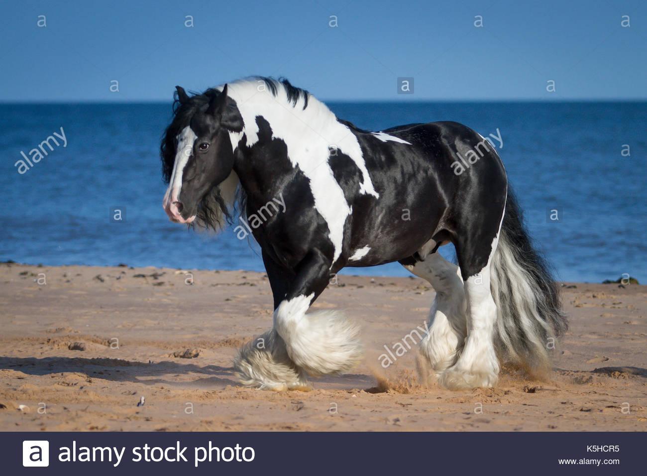 Gypsy CHorse Cob Vanner stallion on the beach - Stock Image