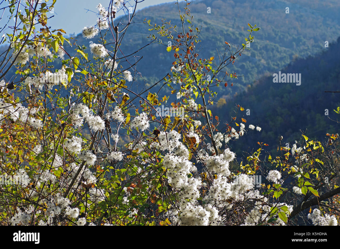 Clematis vitalba, the 'Old man's beard' or 'treveller's Joy', it produces seeds that are wind dispersed, Aurunci mountains, Esperia, Italy - Stock Image