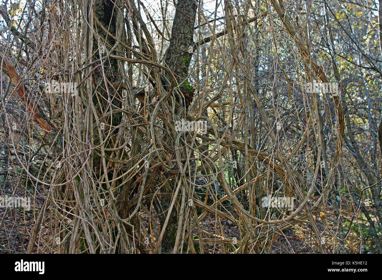 the woody stems from Clematis vitalba, the 'Traveller's Joy' or 'Old man's beard', family Ranunculaceae, in the Aurunci mountains, Esperia, Italy - Stock Image
