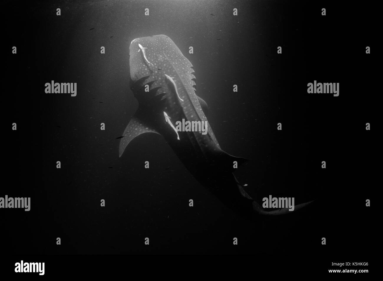 Whale Shark (Rhincodon typus)  Horizontal full body view of a  10 meters individual filter feeding plankton at night. - Stock Image