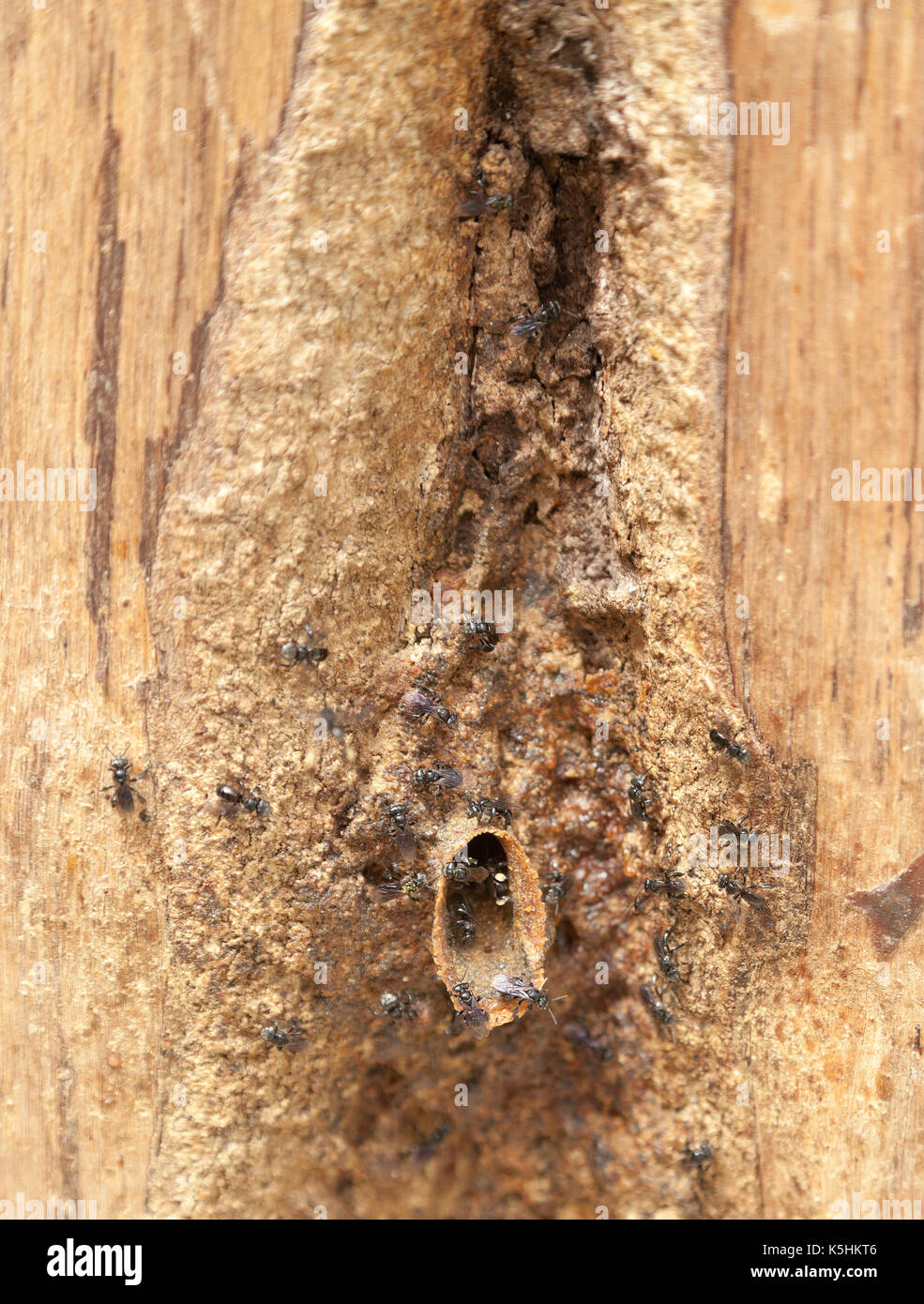 Sweat bees entering their nest in wood, Cameron Highlands, Malaysia. - Stock Image