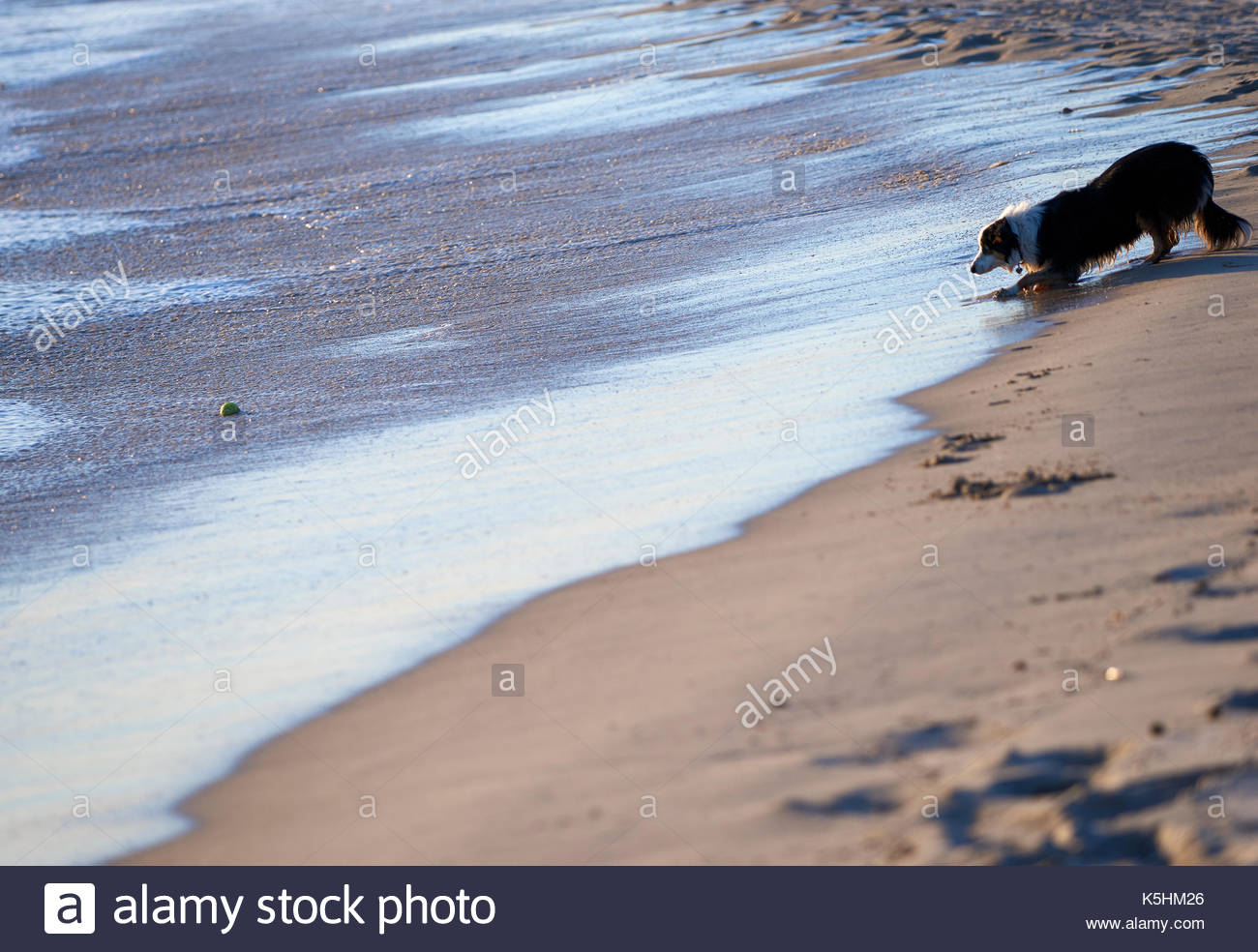 A Border Collie, staring at a tennis ball; waiting for the waves to bring it closer to her.  At the beach near Iluka, NSW, Australia. - Stock Image