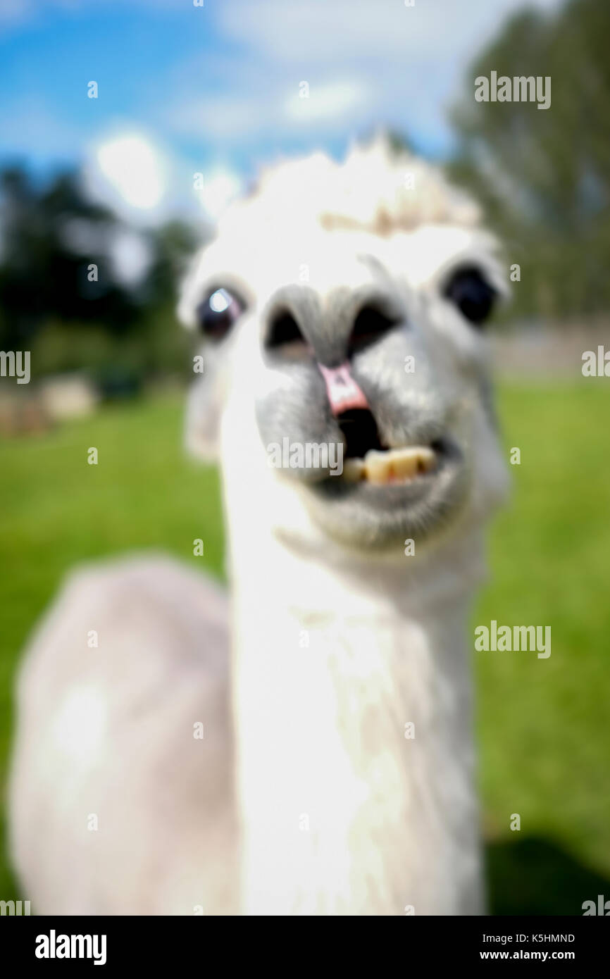 Funny Animals - Alpaca pulls funny face at Blair Drummond Safari and Wildlife Adventure Park near Stirling in Scotland - Stock Image