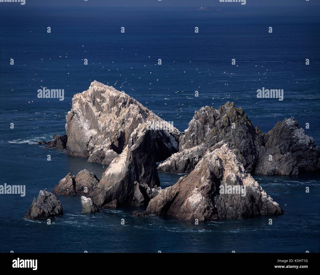 Wildlife. Channel Islands. Alderney. Gannet Rock sea birds colony. - Stock Image