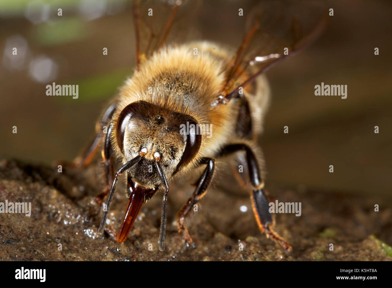 European honey bee drinking water - Stock Image
