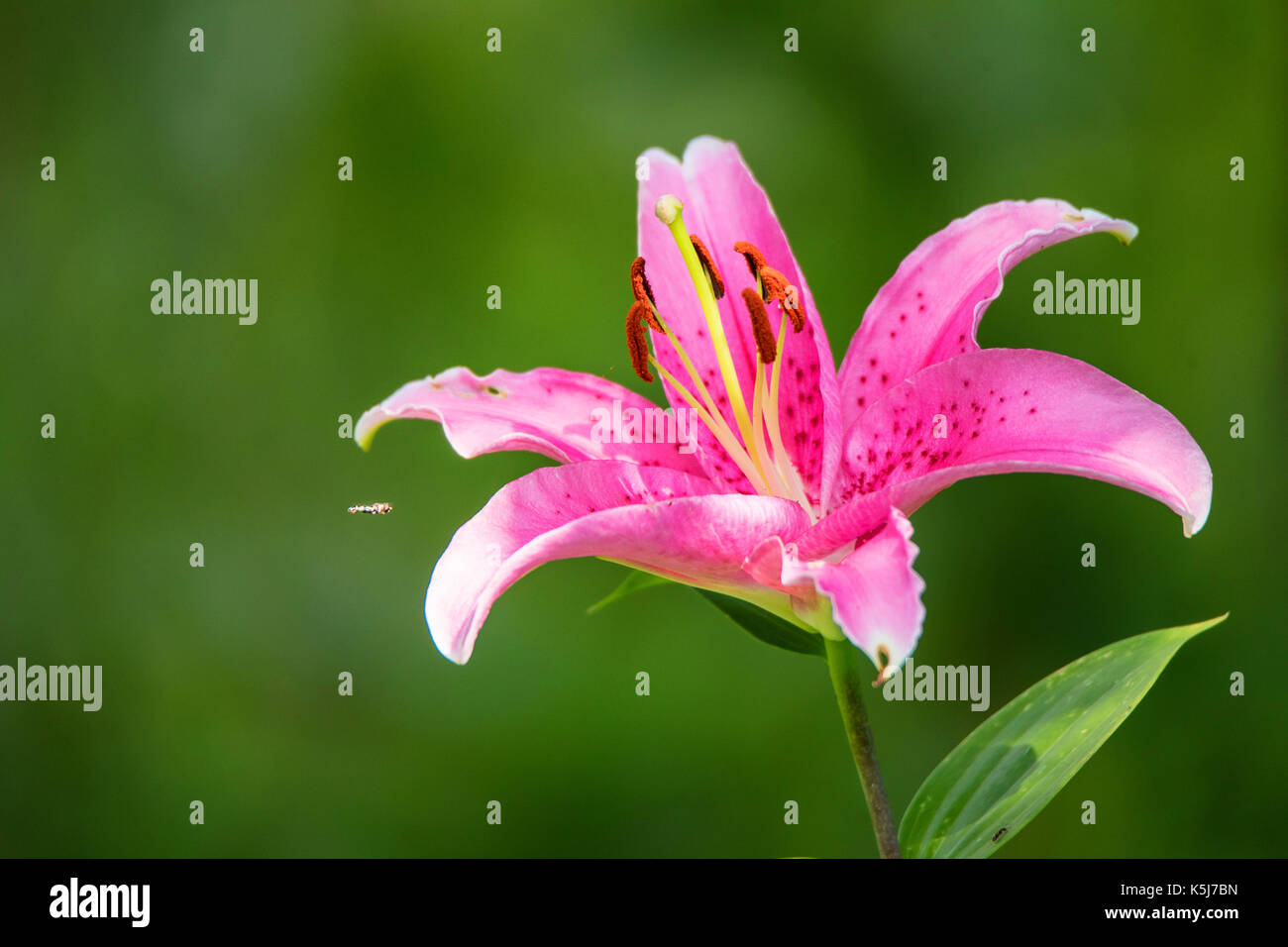 Close up pink Lily or Lilium flower Stock Photo