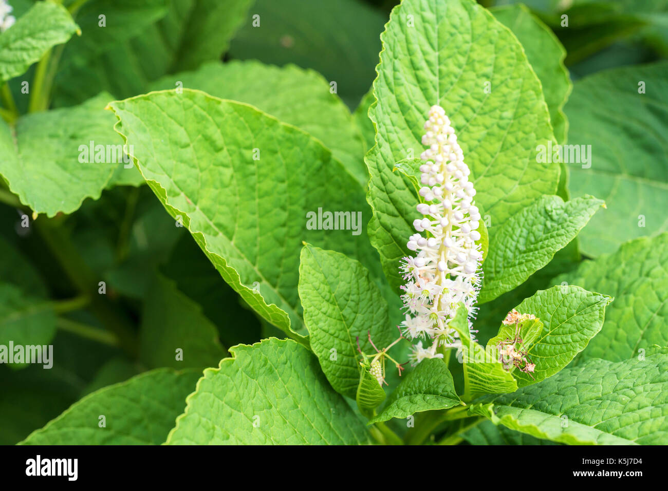 Indian pokeweed or Phytolacca acinosa - Stock Image