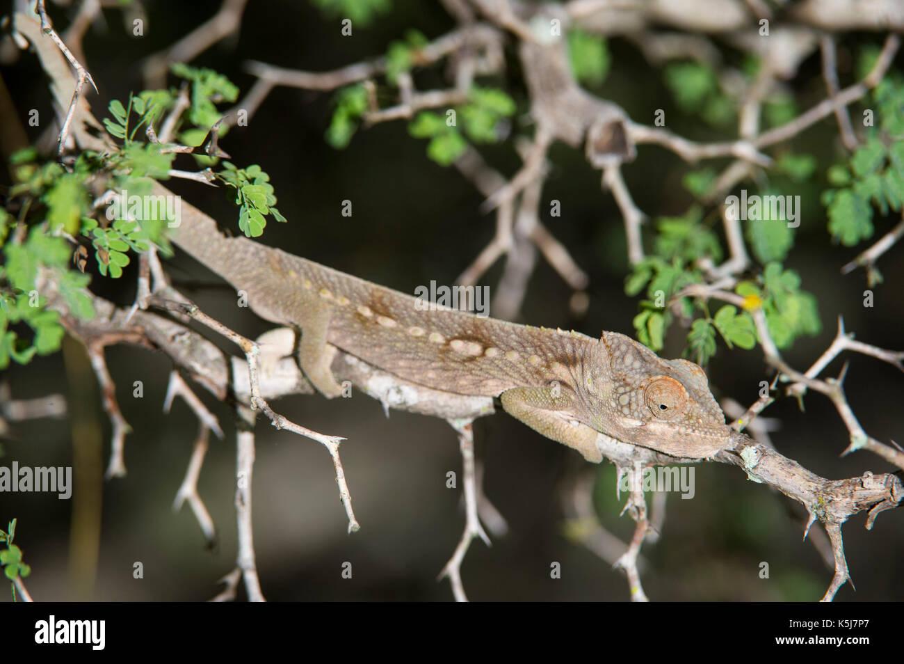 Warty chameleon, Furcifer verrucosus, Mandrare River Camp, Ifotaka Community Forest, Madagascar - Stock Image