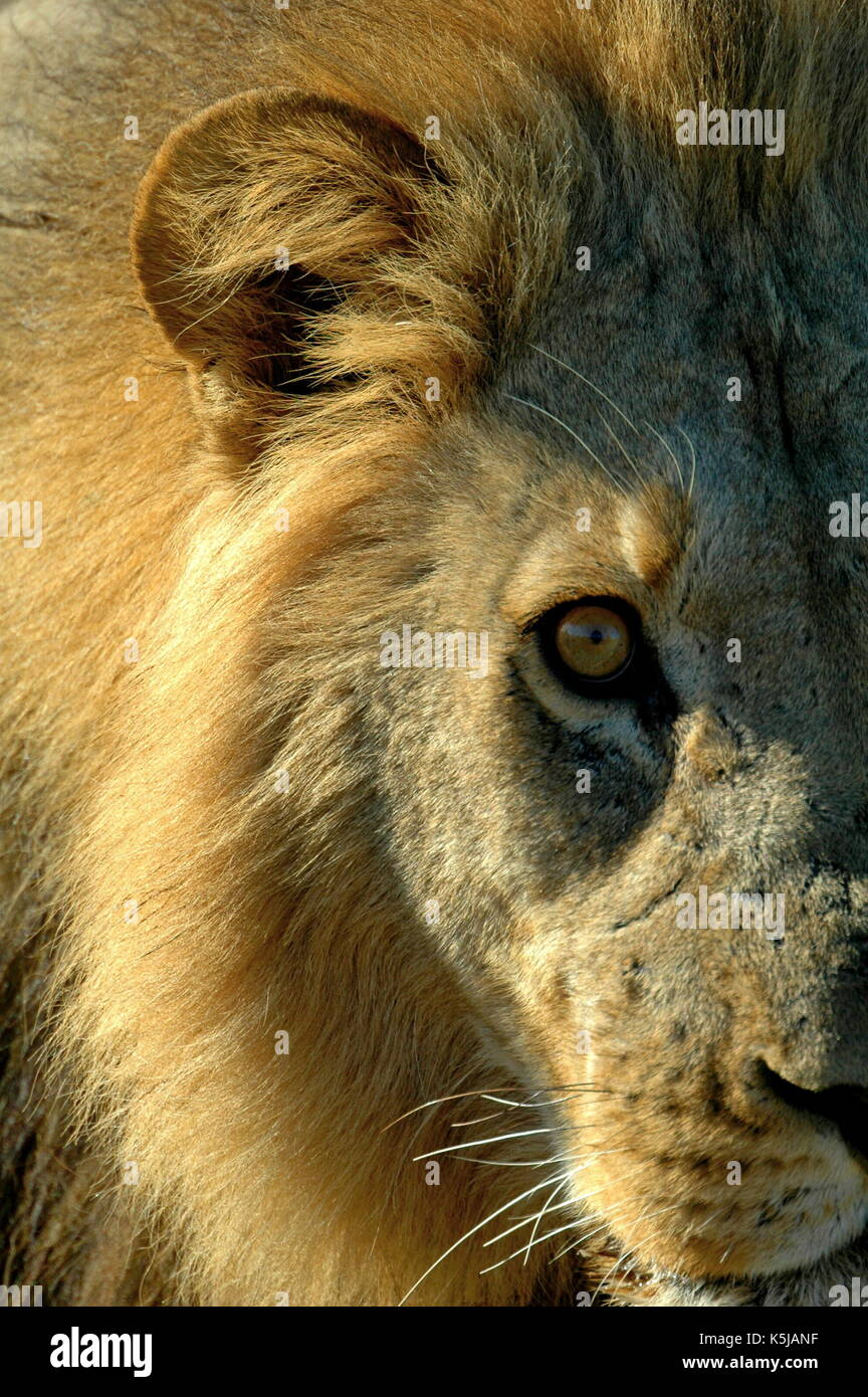 Up close and personal with a male Lion in the Linyanti Region of Botswana - Stock Image