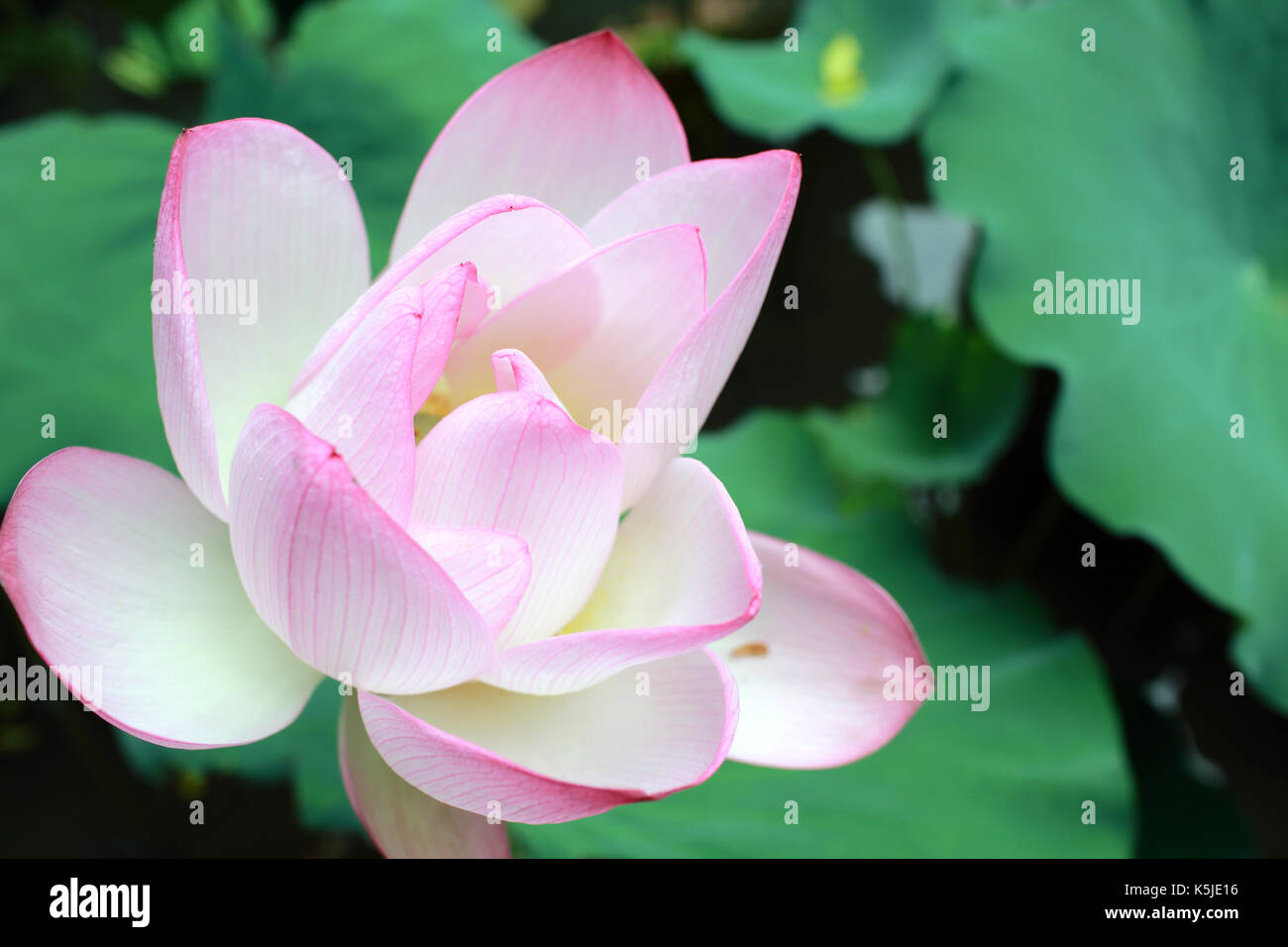 Opening lotus flower stock photos opening lotus flower stock blossom opening lotus means the peace in chinese culture stock image izmirmasajfo