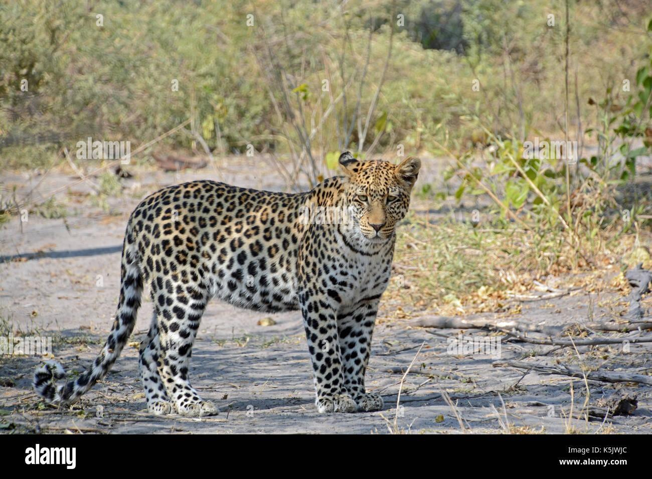 A sleepy Leopard. Taken in the Okavango Delta, Botswana - Stock Image