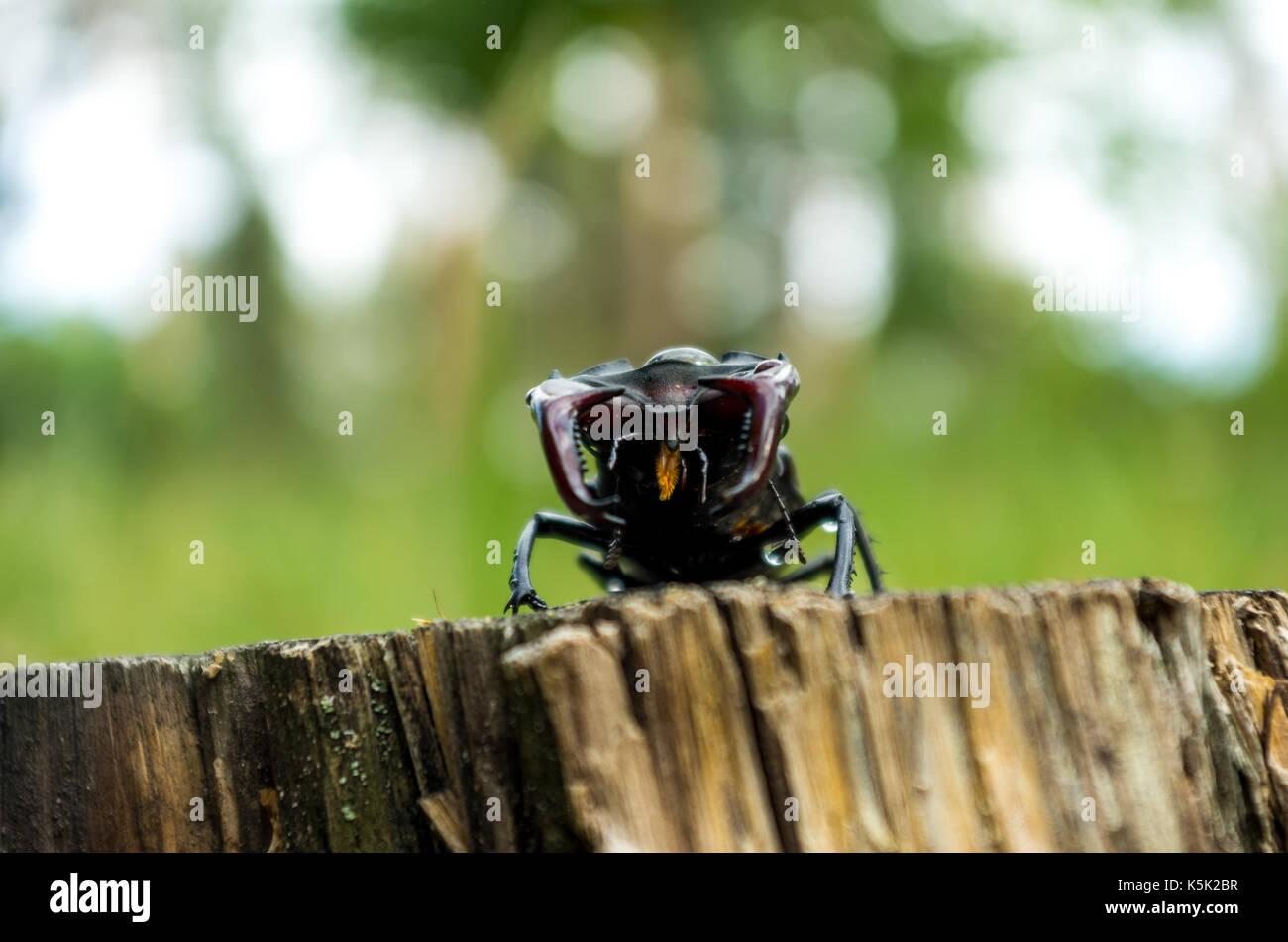Endangered species of rosacea beetles. Lucanus cervus in nature. - Stock Image