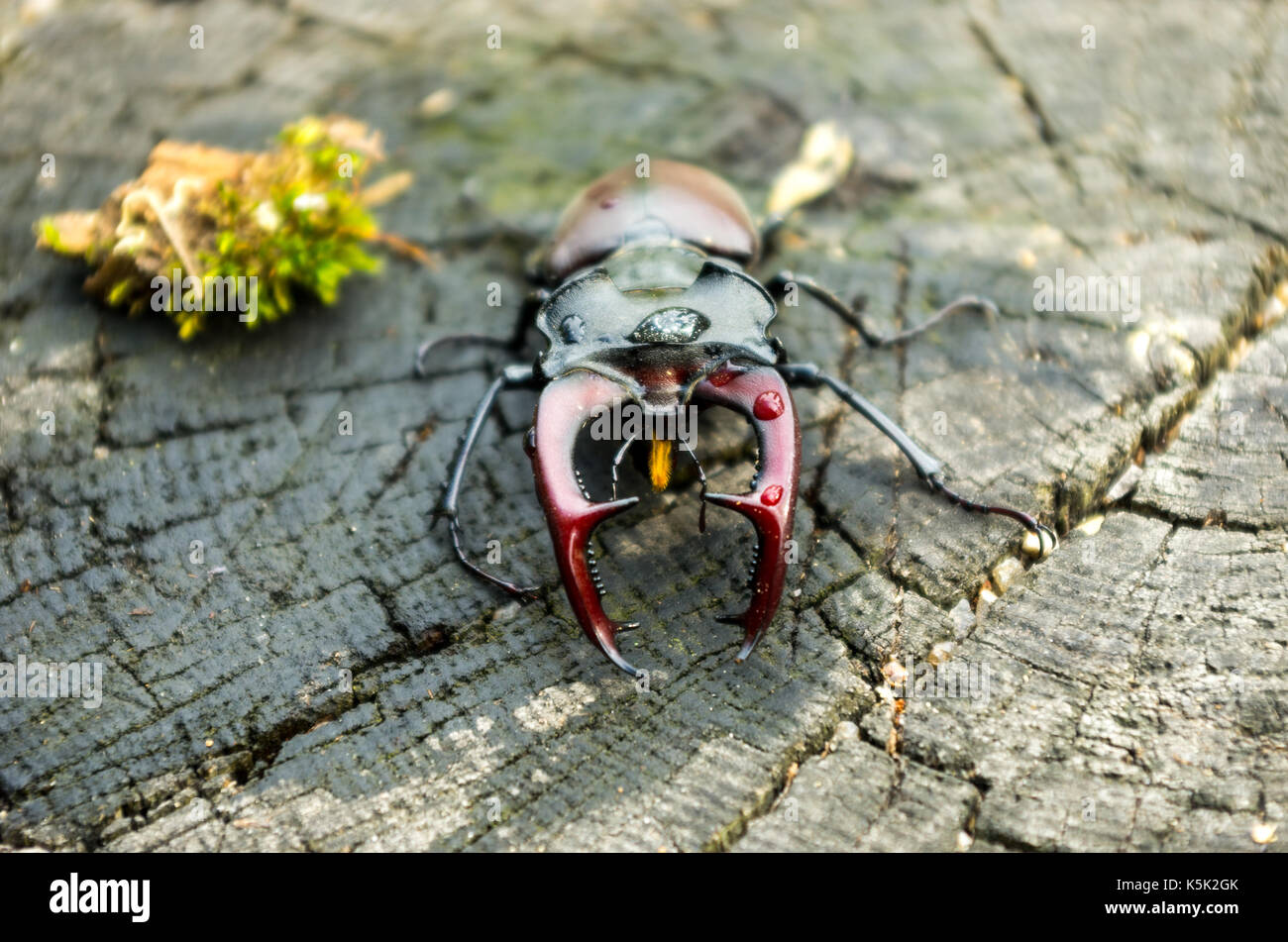 A large insect with horns. A terrible beetle. Horizontal frame. Lucanus cervus in nature. - Stock Image