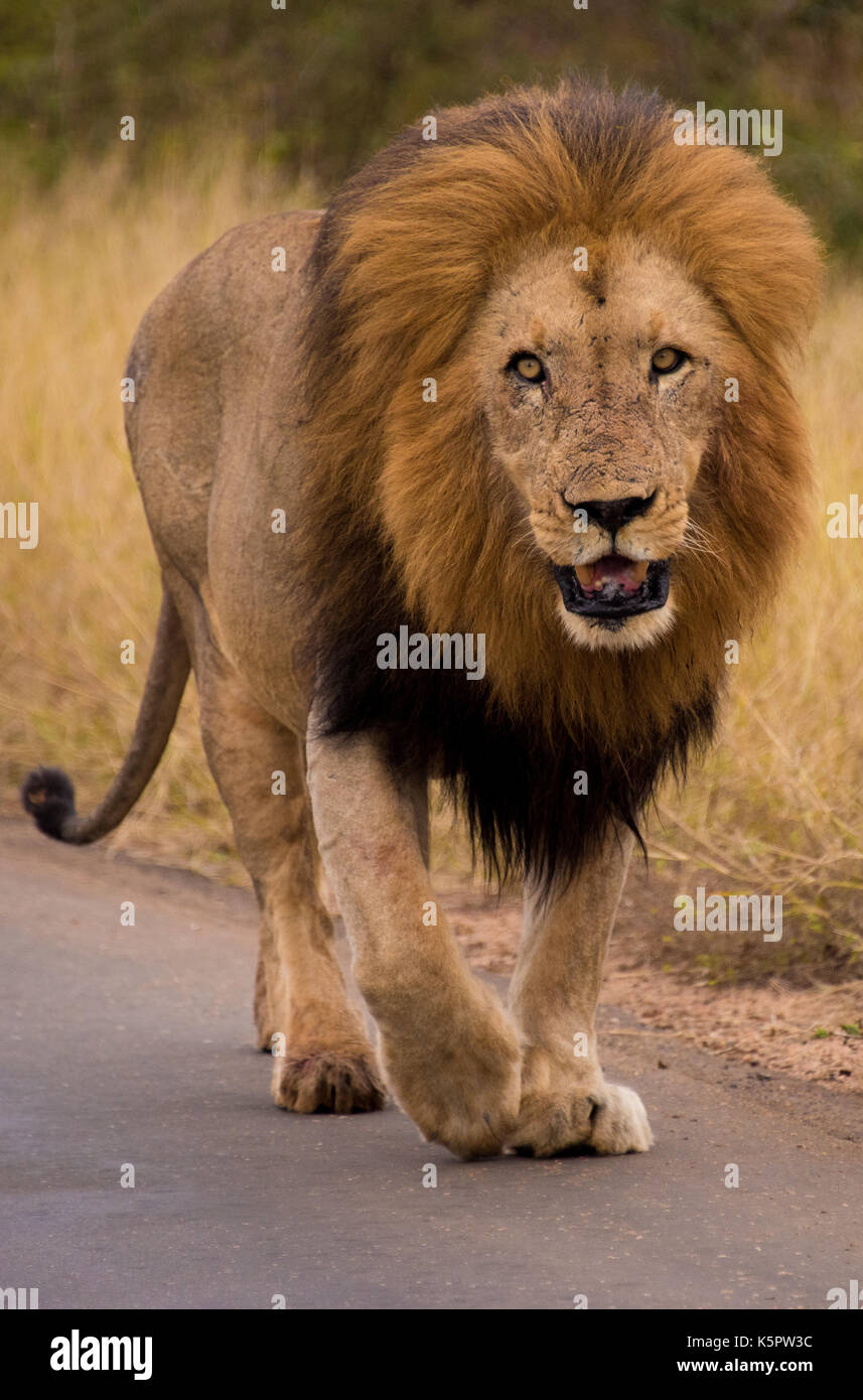 African lion (Panthera leo) strolling along Gomondwane Road, Kruger National Park, South Africa - Stock Image
