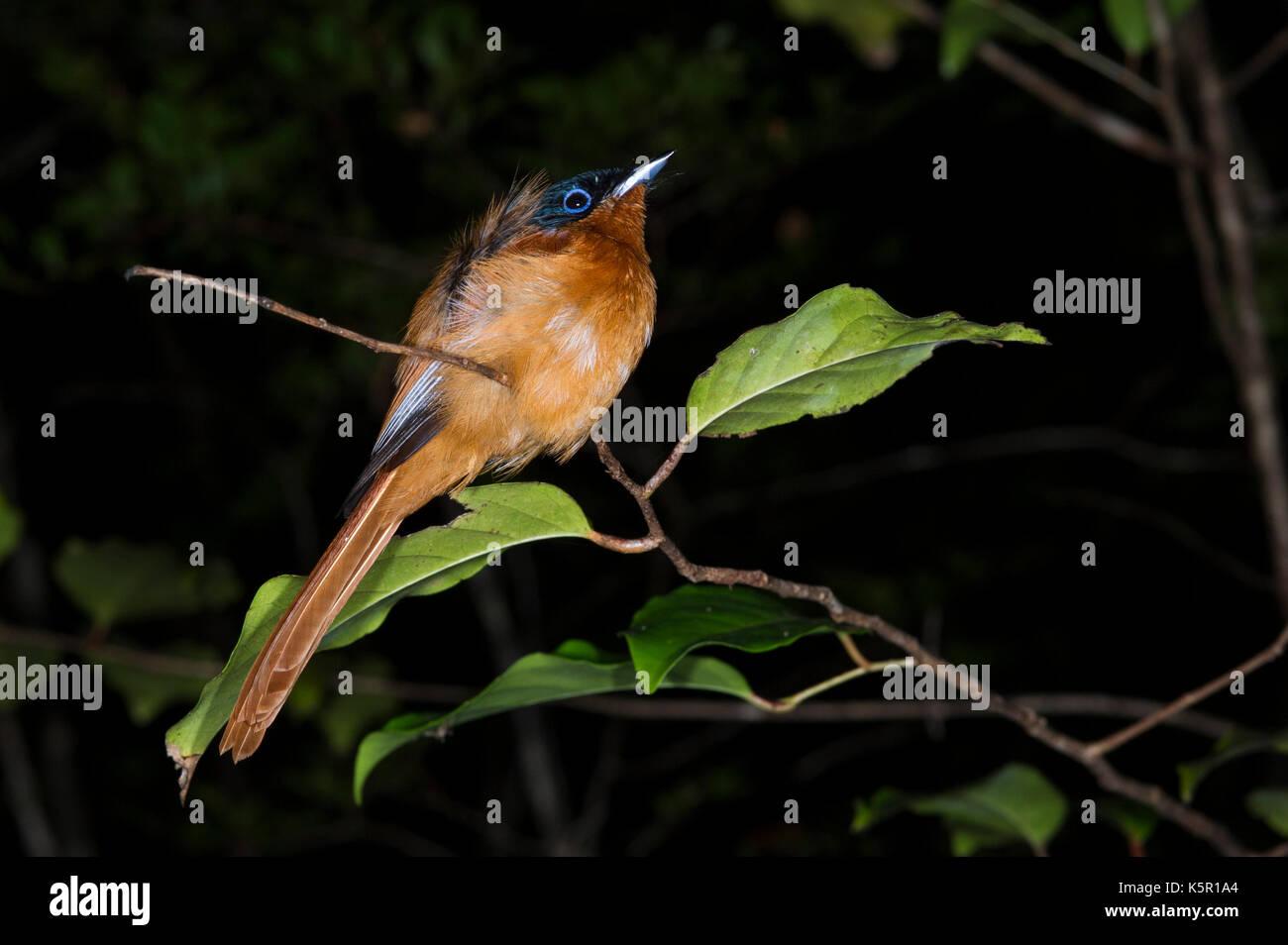 Madagascar paradise flycatcher, Terpsiphone mutata, Manafiafy Beach and Rainforest Lodge, Sainte Luce Bay, Madagascar Stock Photo