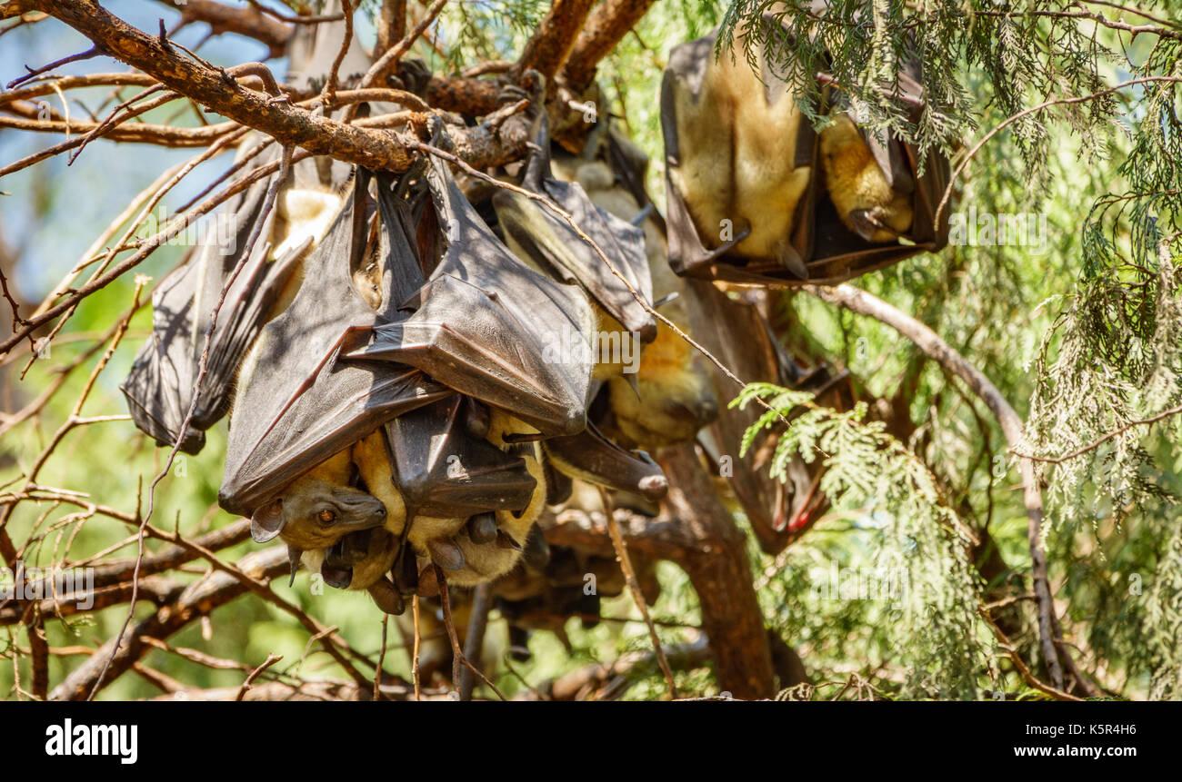 Bat hanging on tree branch - Stock Image
