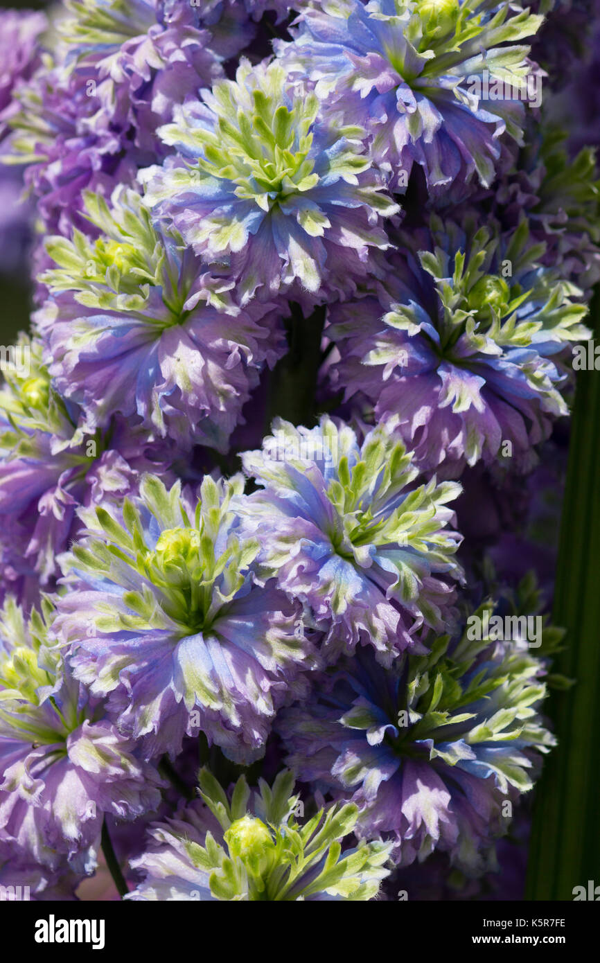 Close up shot of the intricate tricoloured double flowers of the hardy perennial Delphinium (Highlander series) 'Blueberry PIe' - Stock Image