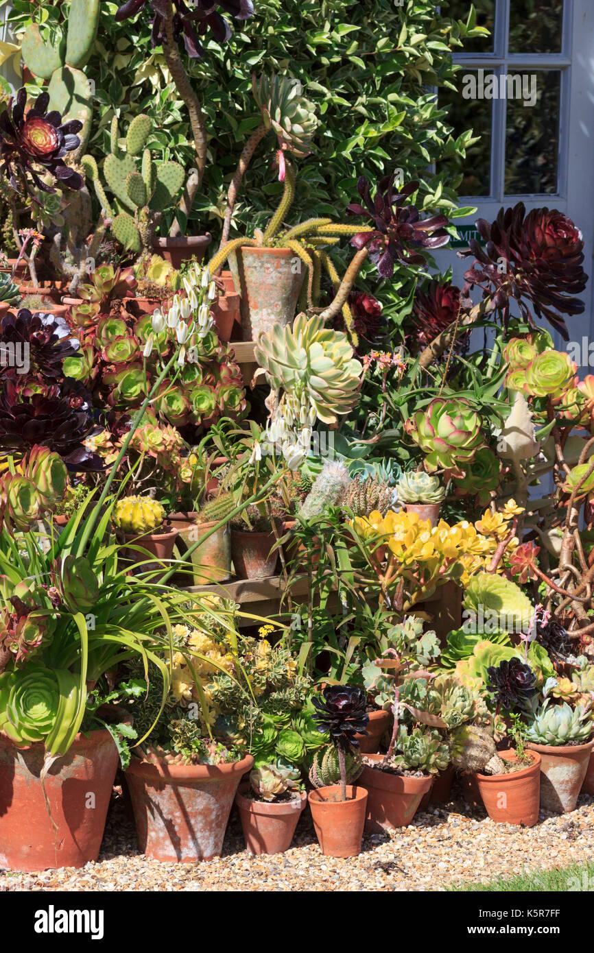 Pot grown succulent display enjoying the summer sun on outdoor staging at East Ruston garden in Norfolk - Stock Image