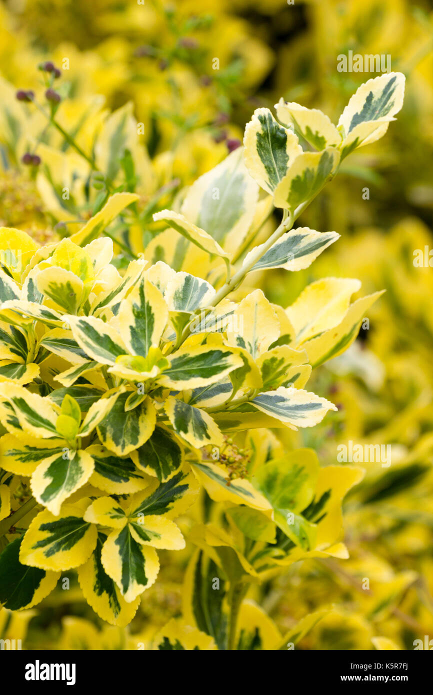 Yellow variegated foliage of the small evergreen shrub and occasional climber, Euonymus fortunei 'Emerald 'n' Gold' - Stock Image