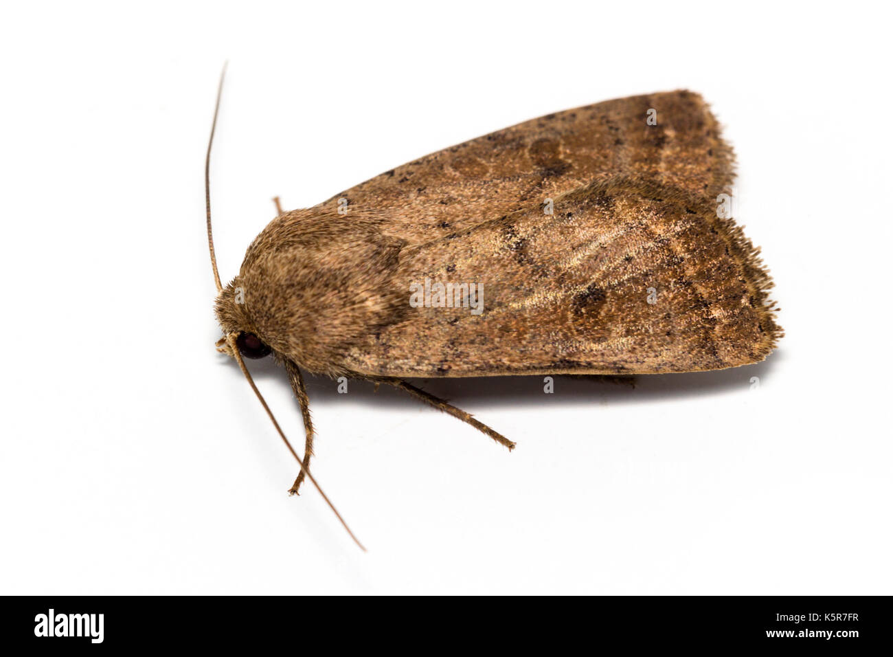 Adult Noctuid moth, Hoplodrina octogenaria, The Uncertain, at rest on a white background - Stock Image