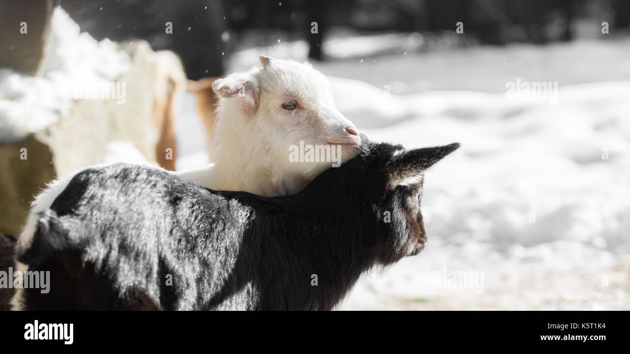 Two goats in winter cuddling - Stock Image