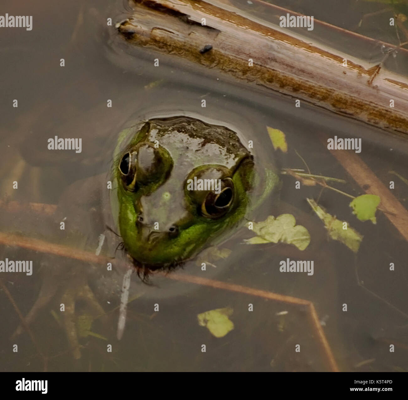 A bull frog submerged in a pond with it's head above the water - Stock Image
