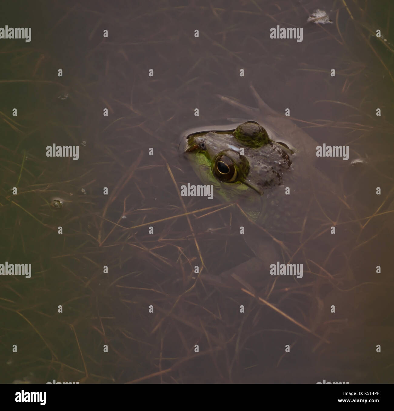 A bull frog partially submerged in a pond with only it's head showing - Stock Image