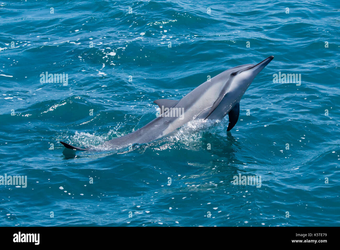 Gray's Spinner Dolphin or Hawaiian Spinner Dolphin (Stenella longirostris) making a splash in the Pacific Ocean off the east coast of Taiwan - Stock Image