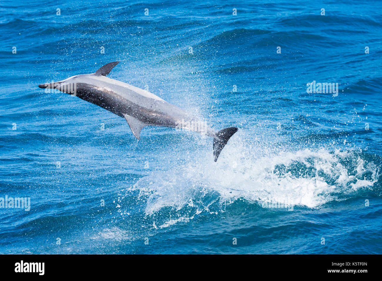 Gray's Spinner Dolphin or Hawaiian Spinner Dolphin (Stenella longirostris) jumping and spinning in the Pacific Ocean off the east coast of Taiwan - Stock Image