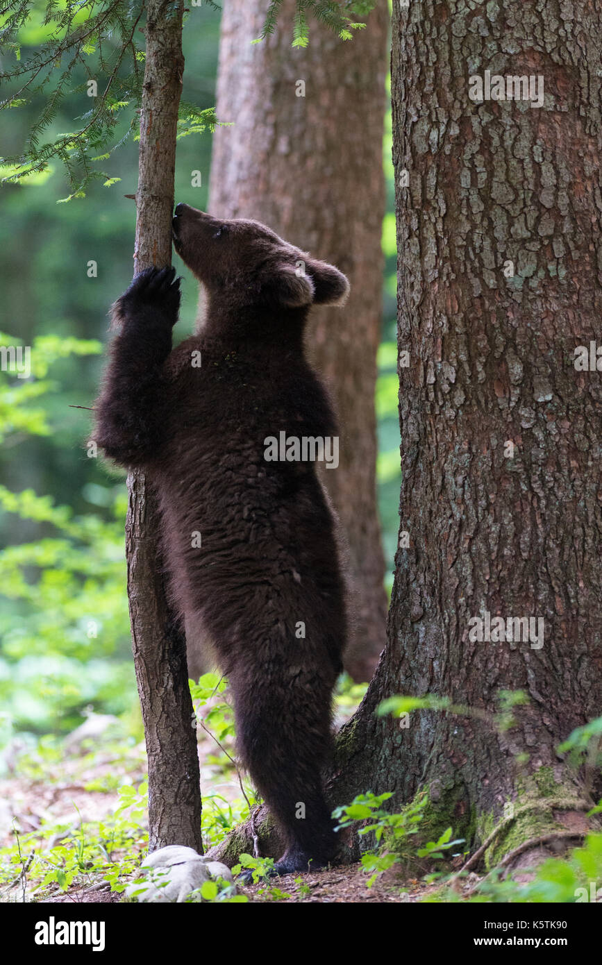 Brown bear (Ursus arctos), young animal stands between tree trunks in the forest, Regional Park Notranjska, Slovenia - Stock Image
