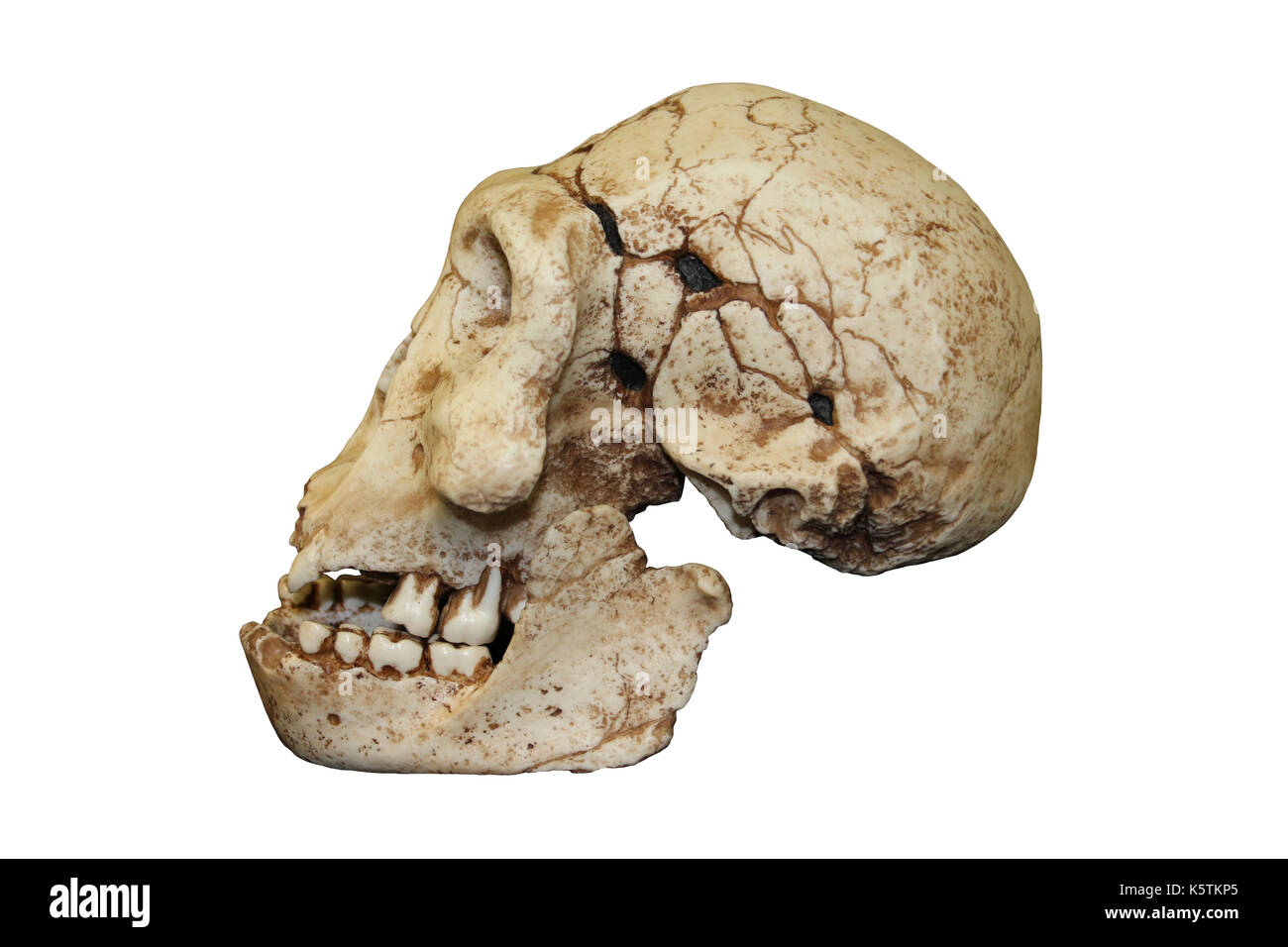 Dmanisi Homo erectus Skull - Stock Image