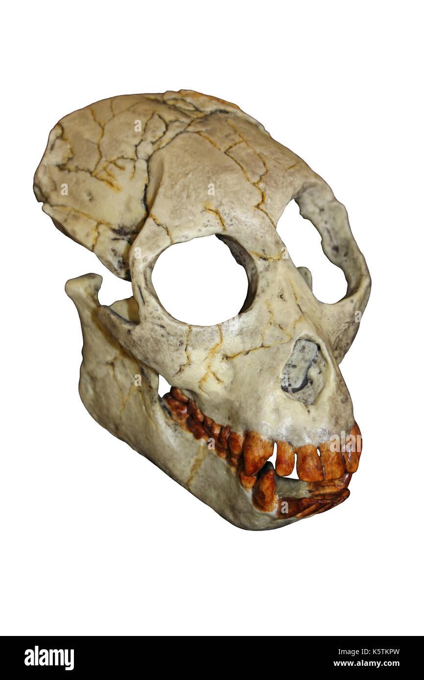 Proconsul africanus Skull - Stock Image
