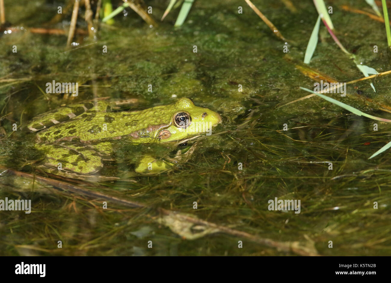 A Marsh Frog (Pelophylax (formerly Rana) ridibunda) sitting in a stream partly submerged in the water. Stock Photo