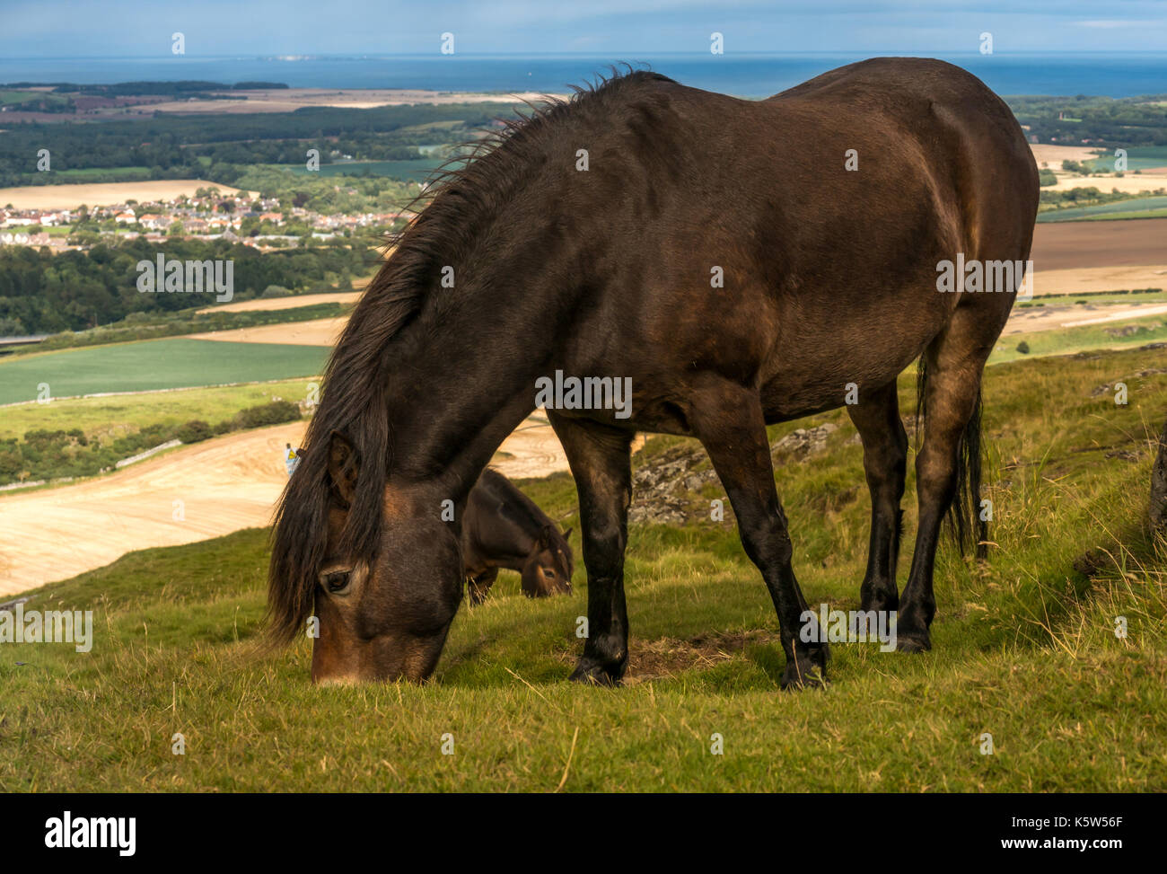 Semi feral Exmoor pony, Traprain Law, East Lothian, Scotland, UK, grazing to restore grass and encourage wildflowers, Firth of Forth in background - Stock Image