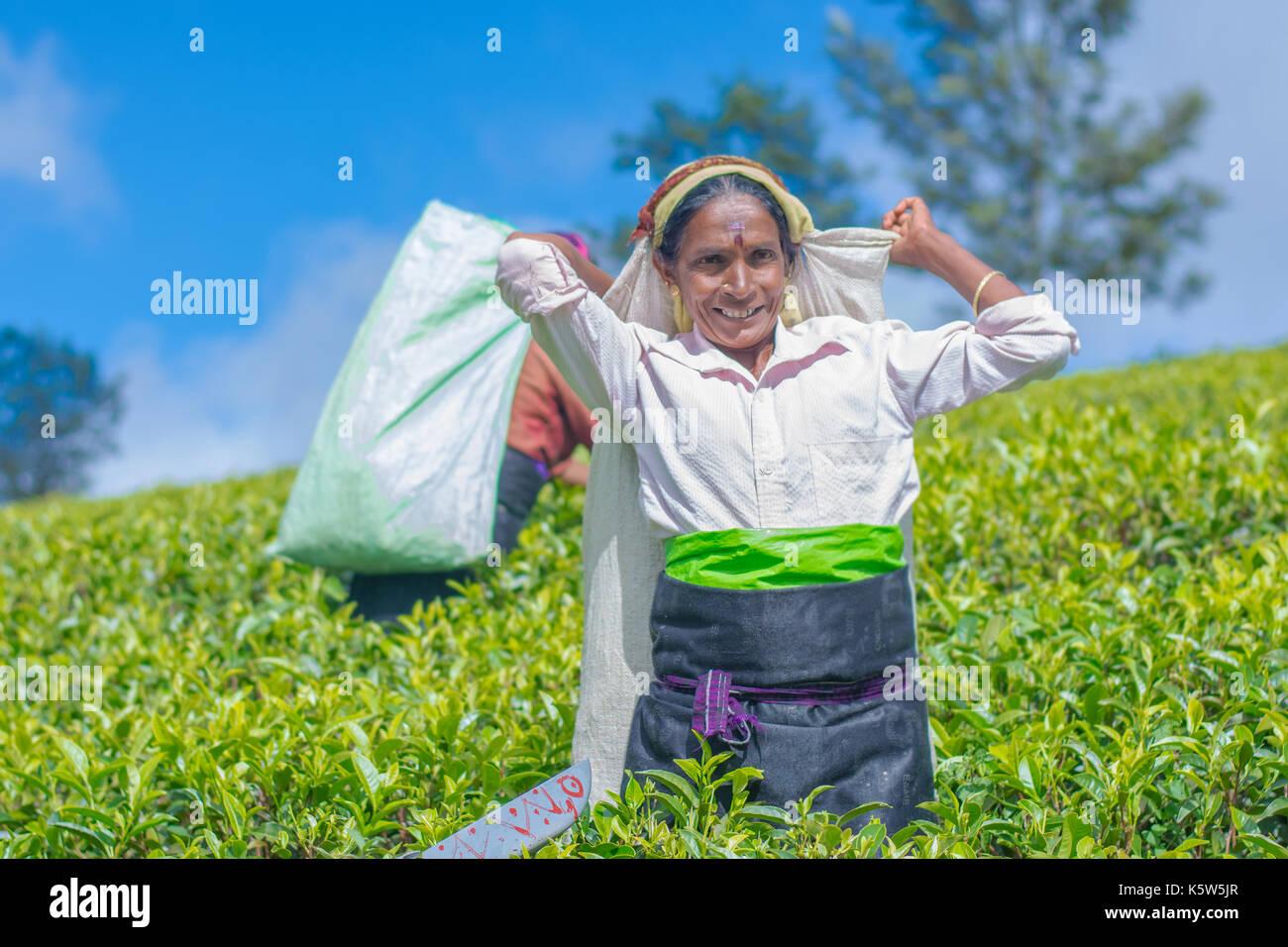 Tamil woman from Sri Lanka breaks tea leaves Stock Photo