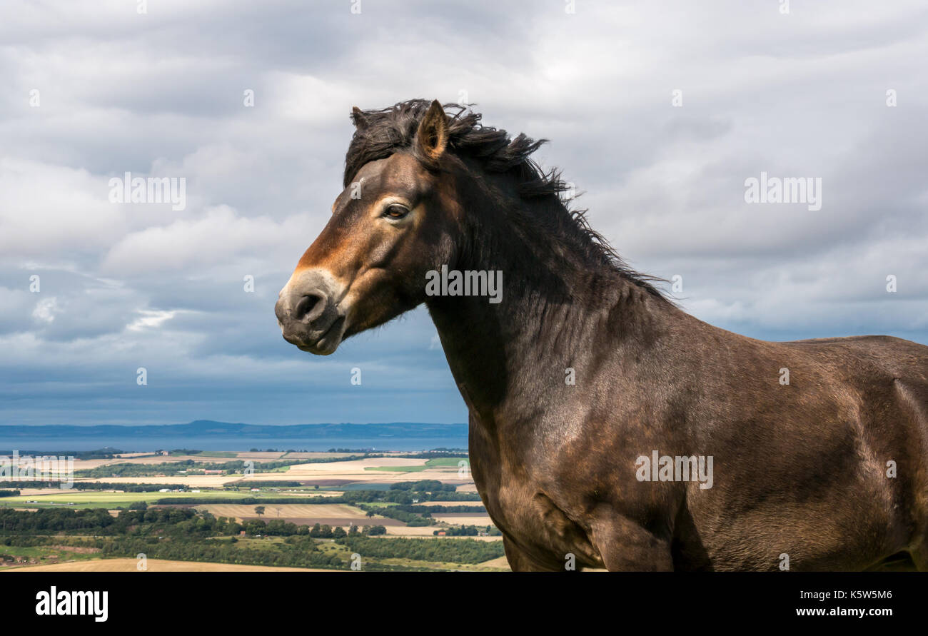 Semi feral Exmoor pony, Traprain Law, East Lothian, Scotland, UK, grazing to restore grass and encourage wildflowers, Stock Photo