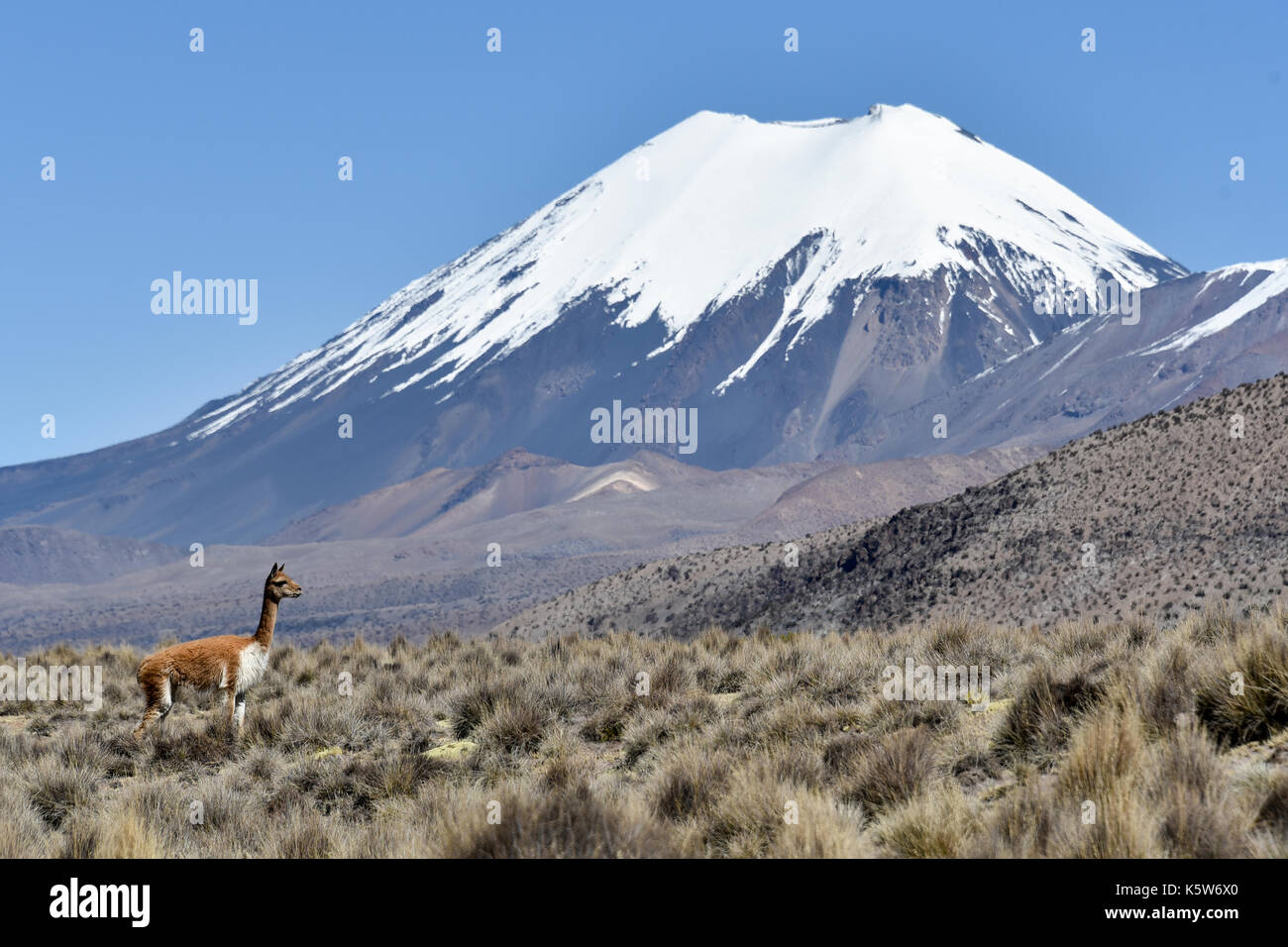 Snow covered volcanoes Pomerape and Parinacota with Guanaco (Lama guanicoe), Sajama National Park, Bolivian Bolivia - Stock Image