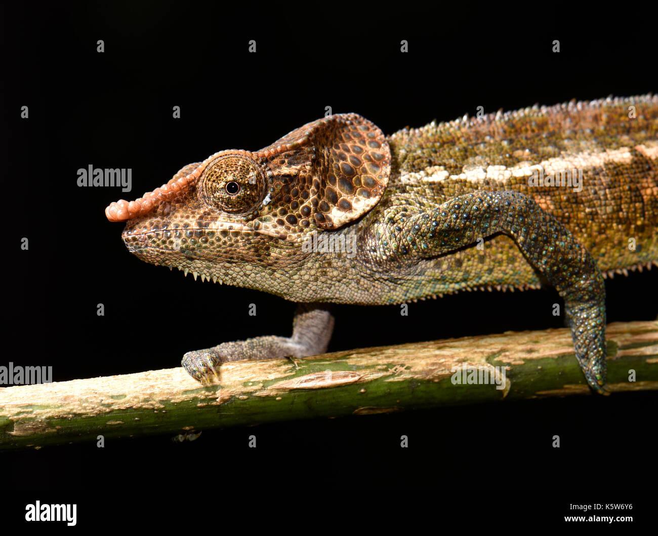Shorthorn chameleon (Calumma crypticum), male on branch, rainforests, Ranomafana National Park, Madagascar - Stock Image