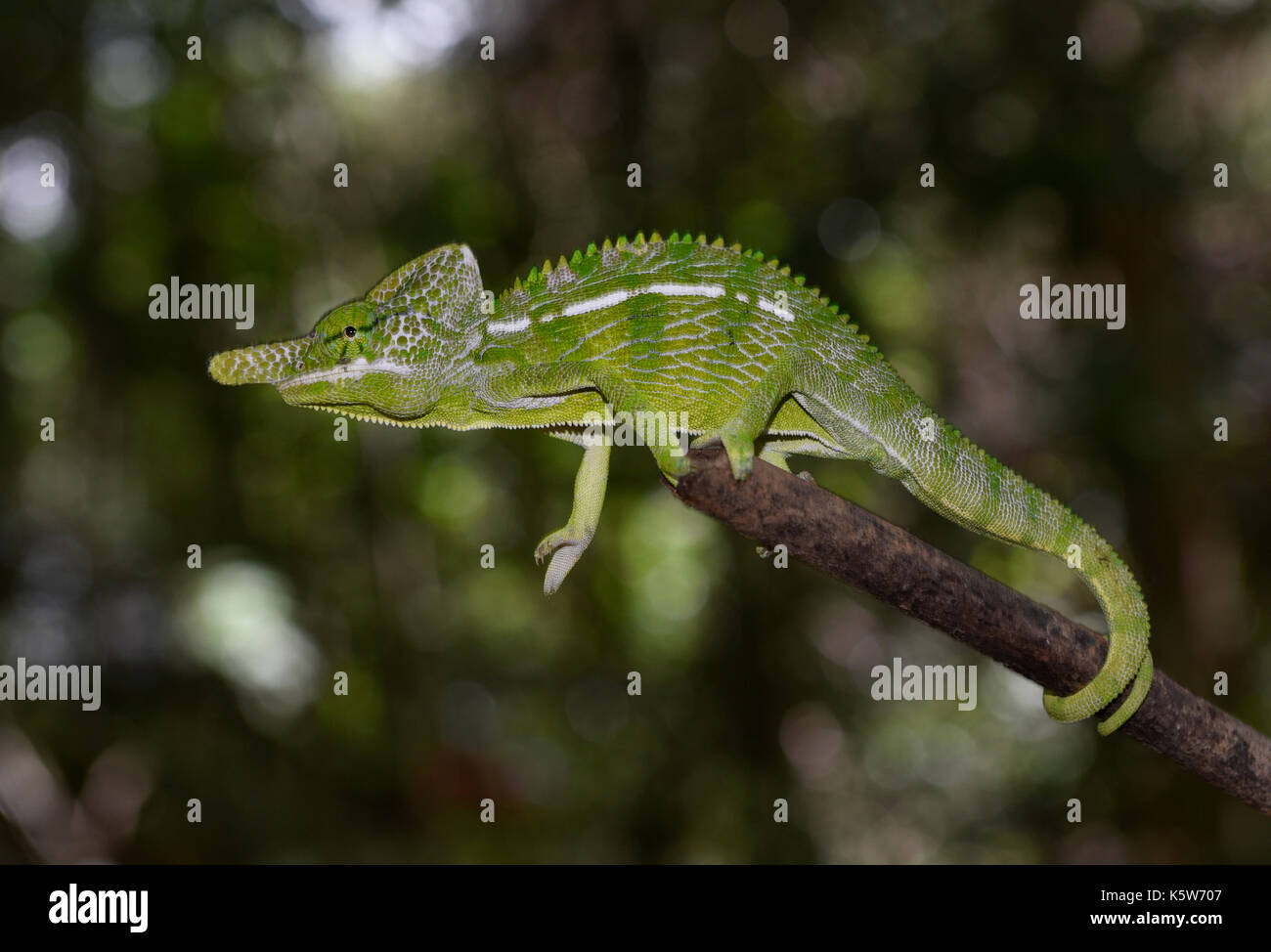 Short-lived chameleon species of the world (Furcifer labordi), male, dry forests of Kirindy, Western Madagascar, Madagascar - Stock Image