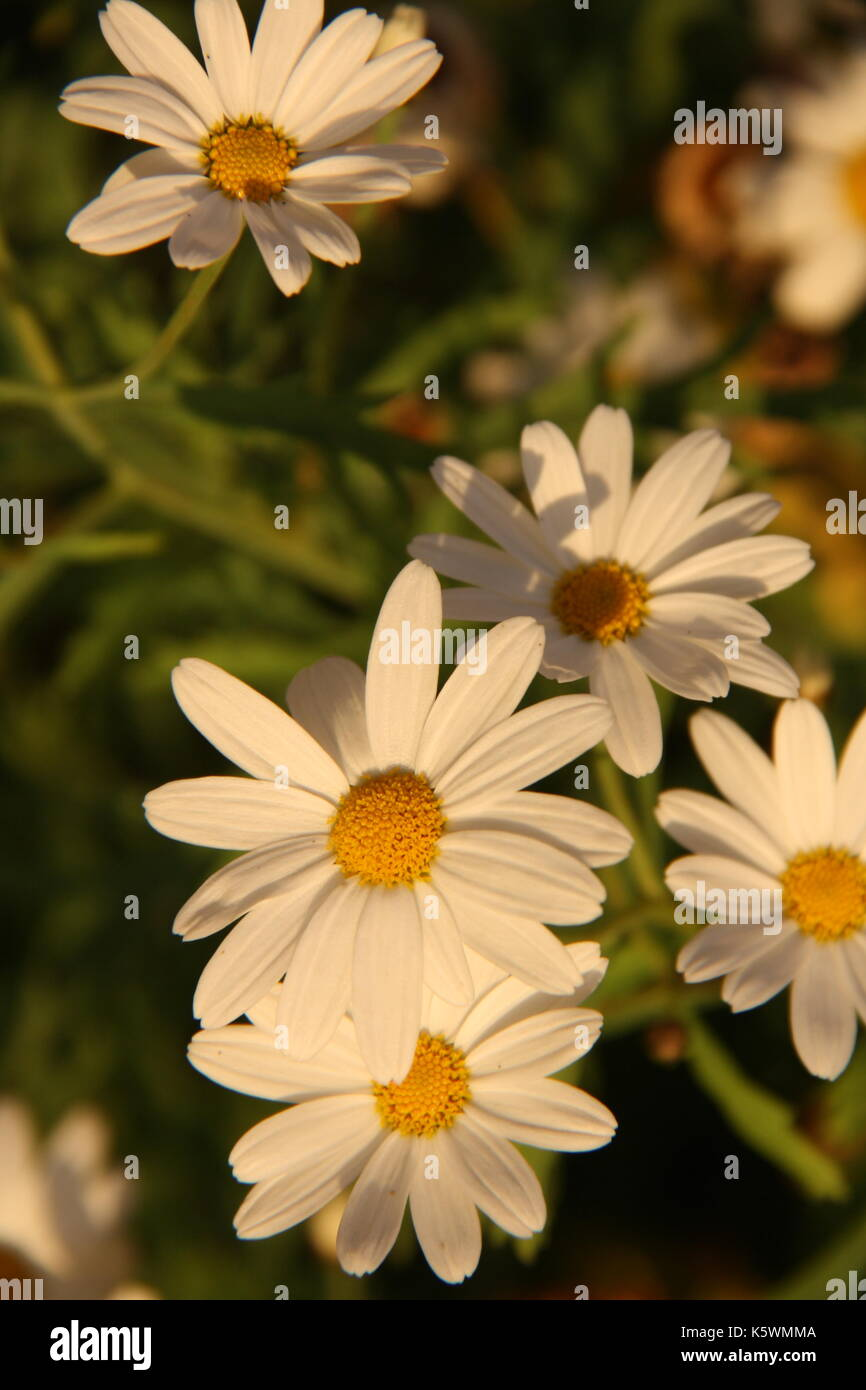 A beautiful daisy in one of the most excelent gardens in all of Norway. - Stock Image