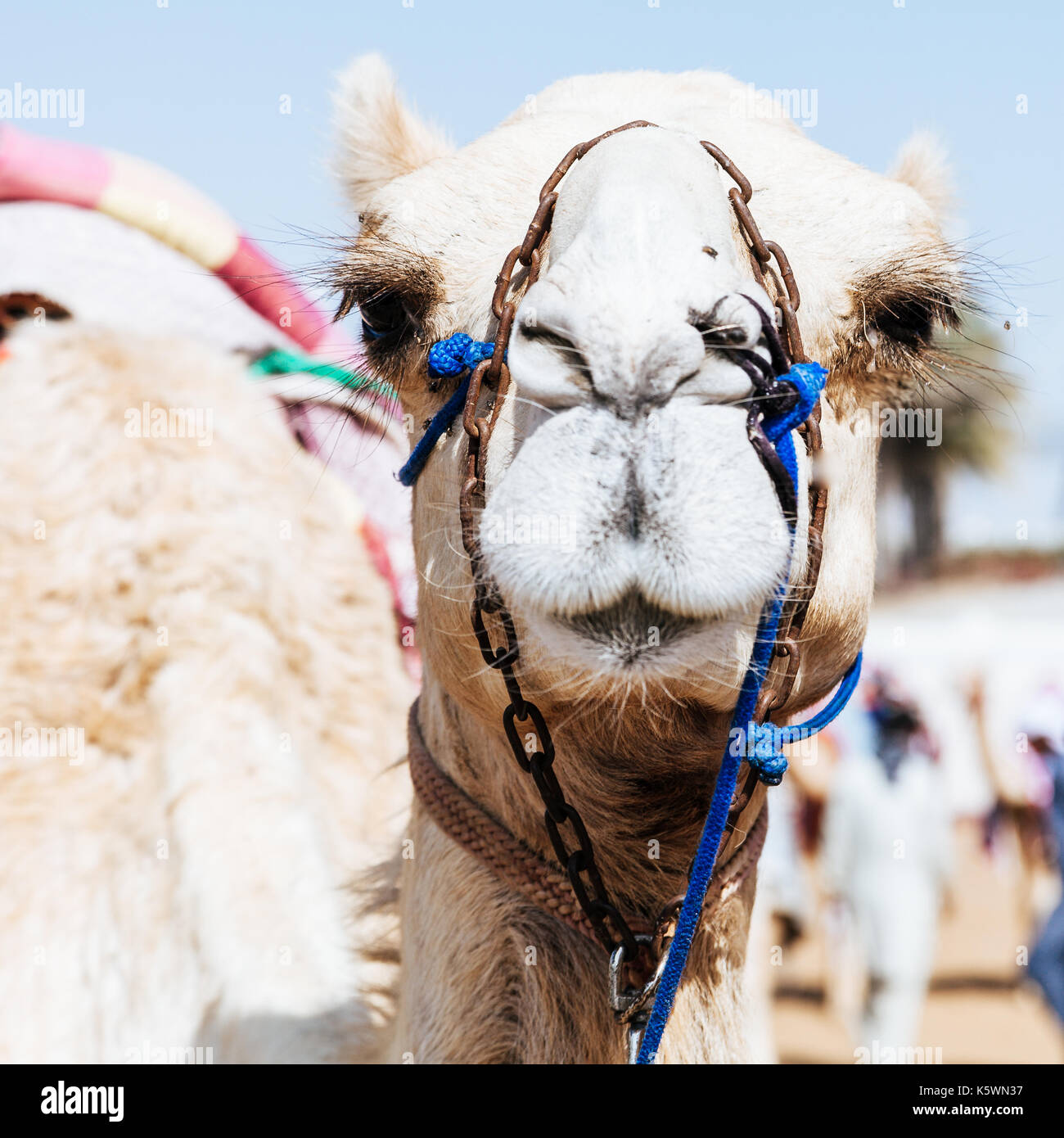 Portrait shot of a camel at Dubai Camel Racing Club, UAE - Stock Image
