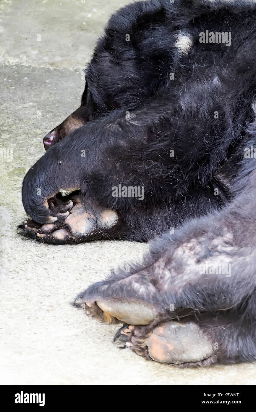 paws of a sleeping black Himalayan bear, hiding from the hot sun in the shade - Stock Image