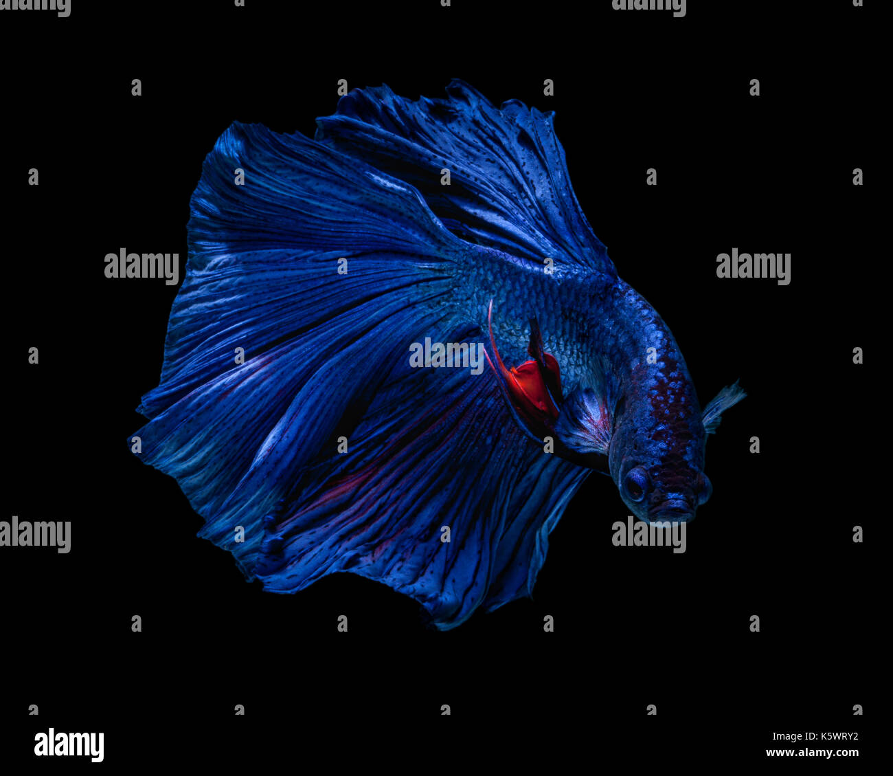 Fine art concept close up beautiful movement of 'Half moon' Betta fish isolated on black background. Fine art design concept. macro photo - Stock Image