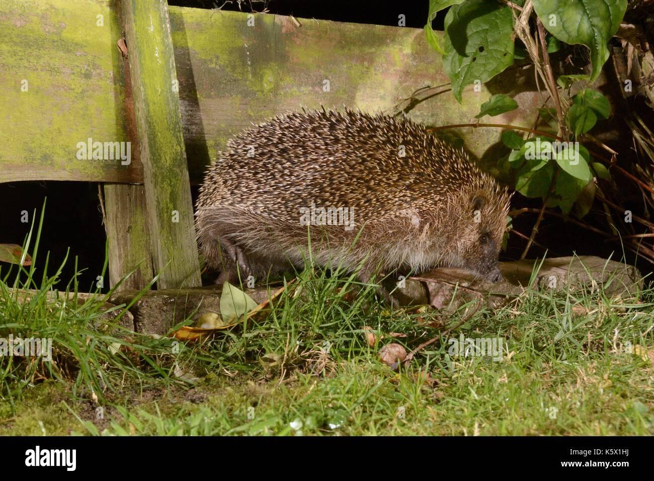 European hedgehog (Erinaceus europaeus) entering a suburban garden from the next door garden by squeezing through a gap in the fence at night, UK. - Stock Image