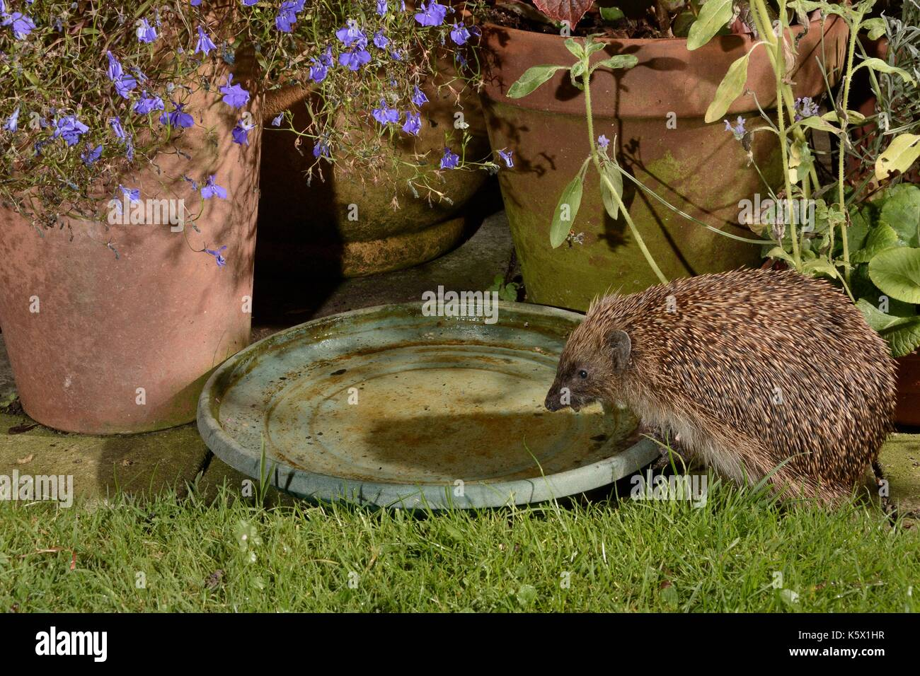 Hedgehog (Erinaceus europaeus) drinking from water bowl left out on a patio for hedgehogs, at night, Chippenham, Wiltshire, UK, August.  Taken with a  - Stock Image