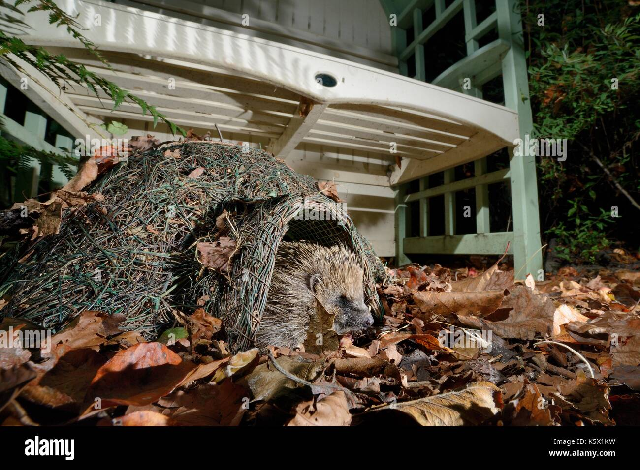Hedgehog (Erinaceus europaeus) emerging from a hedgehog house at night in a suburban garden, Chippenham, Wiltshire, UK, September. - Stock Image