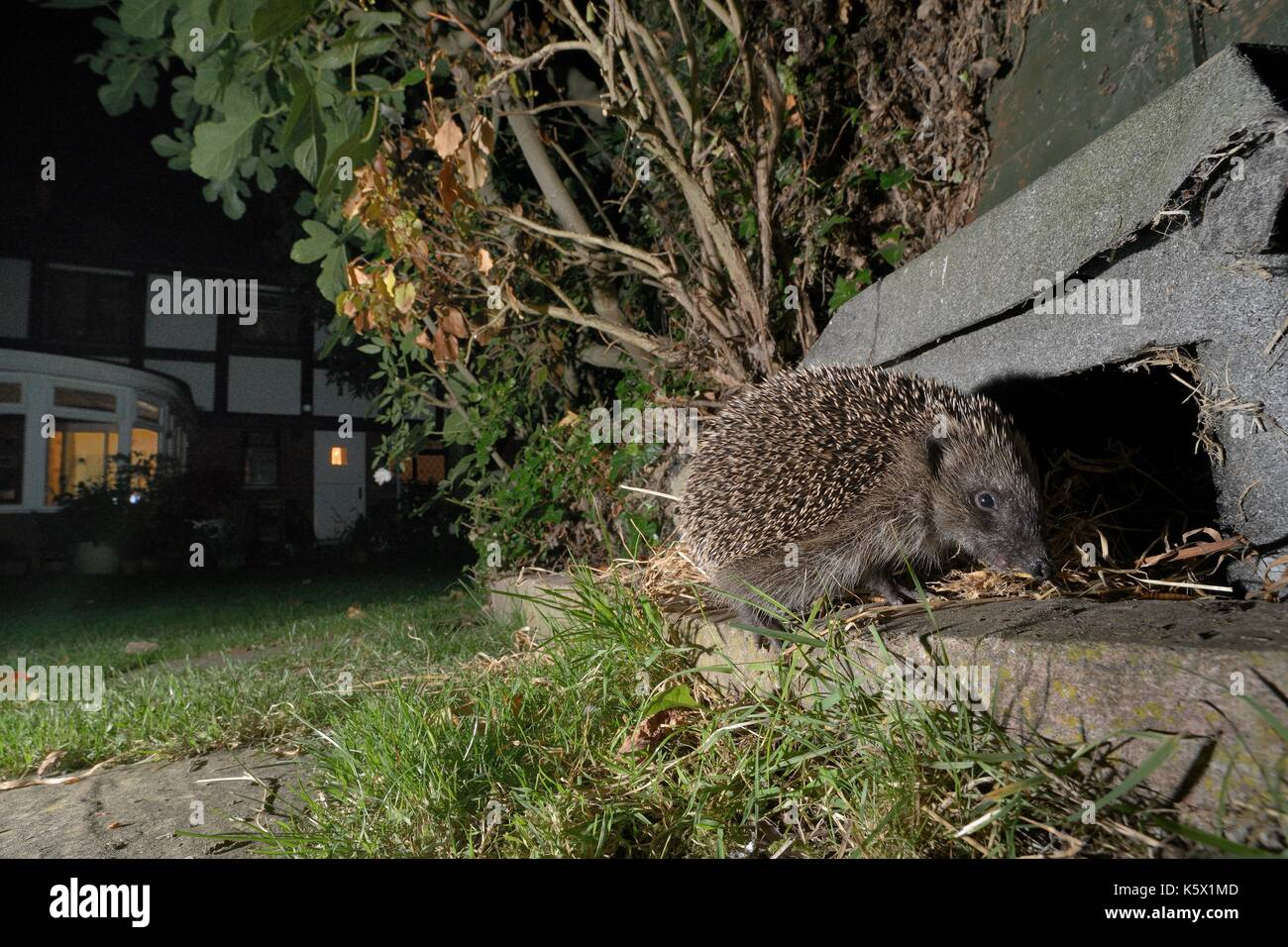 Hedgehog (Erinaceus europaeus) about to enter a hedgehog house at night in a suburban garden, Chippenham, Wiltshire, UK.  Taken with a camera trap. - Stock Image